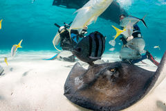Pijlstaartroggenzwerm rond Scuba-duikers stock afbeelding
