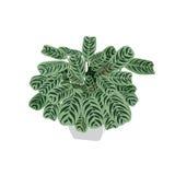 Pijlwortel met bont bladeren in een pot Royalty-vrije Stock Afbeeldingen