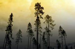 Pijnbomen Stock Afbeeldingen