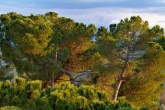 Pijnbomen 2 van Toscanië Stock Afbeelding