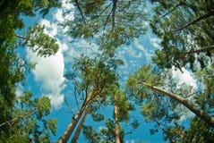 Pijnbomen Stock Afbeelding