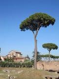 Pijnbomen bij Romeinenforum Stock Foto's