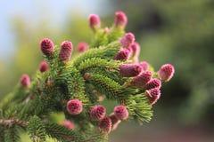 Pijnbomen in de bergen Royalty-vrije Stock Foto's