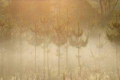Pijnbomen in de ochtendmist Stock Foto's