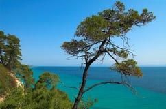 Pijnbomen dichtbij de oceaan Royalty-vrije Stock Foto