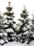 Pijnbomen die met Sneeuw worden behandeld Royalty-vrije Stock Foto