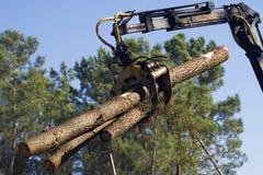 Pijnbomen die worden gedragen Stock Fotografie