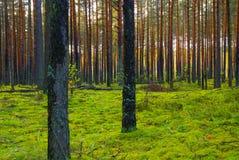Pijnbomen en een mos in hout royalty-vrije stock foto's
