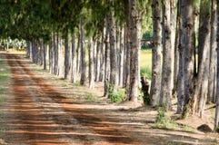 Pijnbomen en grintweg Stock Fotografie
