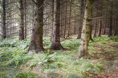 Pijnbomen en Varens Stock Afbeeldingen
