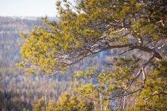 Pijnbomen in het bos en het zonlicht Bergbomen Heuvel Stock Afbeelding