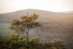 Pijnbomen in het bos en het zonlicht Bergbomen Heuvel Royalty-vrije Stock Fotografie