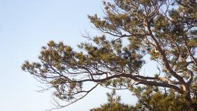 Pijnbomen in het bos en het zonlicht Bergbomen Heuvel Stock Foto