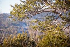 Pijnbomen in het bos en het zonlicht Bergbomen Heuvel Stock Fotografie