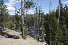 Pijnbomen in het park Royalty-vrije Stock Foto's