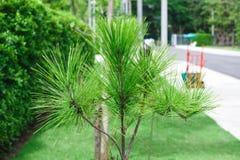 Pijnbomen in het park Stock Foto's