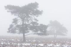 Pijnbomen in mist Stock Afbeeldingen