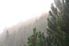 Pijnbomen in mist Royalty-vrije Stock Foto's