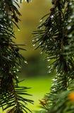 Pijnbomen na een regen Royalty-vrije Stock Foto's