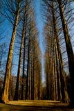 Pijnbomen in Nami Eiland Korea Stock Afbeeldingen