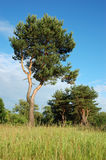 Pijnbomen op de bosrand Stock Afbeelding