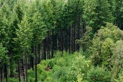 Pijnbomen op de Heuvel Stock Foto's