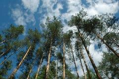 Pijnbomen in zonlicht Royalty-vrije Stock Fotografie