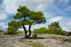 Pijnbomenbomen Stock Foto's