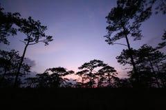 Pijnbomenbos bij zonsondergang Stock Foto