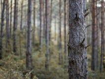 Pijnbomenbos in de winter stock foto's