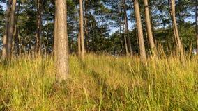 Pijnbomenbossen en geel glas stock afbeeldingen