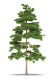 Pijnboom Stock Afbeelding