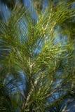 Pijnboom Stock Foto's