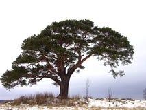 Pijnboom stock fotografie