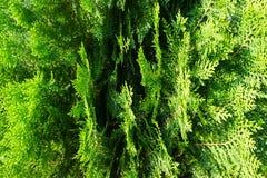pijnboom Royalty-vrije Stock Foto