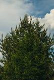pijnboom Royalty-vrije Stock Afbeeldingen