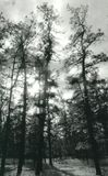 Pijnboom Barrens Royalty-vrije Stock Afbeelding