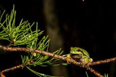 Pijnboom Barrens Treefrog Royalty-vrije Stock Afbeelding