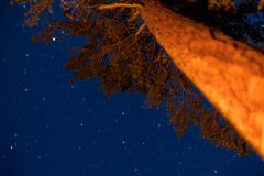 Pijnboom bij de zomernacht Stock Afbeelding