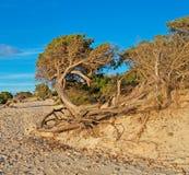 Pijnboom bij het strand royalty-vrije stock foto