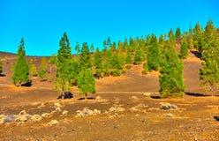 Pijnboom-bomen in het nationale park van Teide Stock Foto