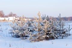 Pijnboom-bomen onder sneeuw stock foto's
