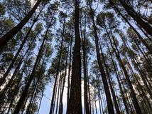 Pijnboom-bomen Zonnige dag royalty-vrije stock foto