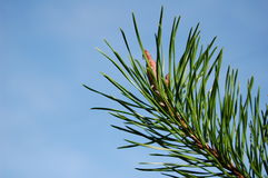 Pijnboom-boom Stock Fotografie
