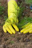 Pijnboom-boom installatie Royalty-vrije Stock Foto's