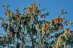 Pijnboom-boom met kegel Royalty-vrije Stock Fotografie