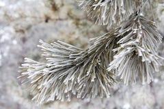 Pijnboom-boom tak stock foto's