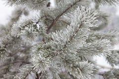 Pijnboom-boom tak in sneeuw royalty-vrije stock foto's