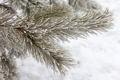 Pijnboom-boom tak in sneeuw royalty-vrije stock afbeeldingen