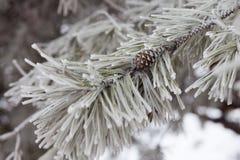 Pijnboom-boom tak in sneeuw stock foto's